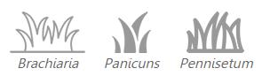 Brachiaria, Panicuns e Pennisetum
