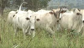 Brachiaria Marandú (Fazenda Planalto)