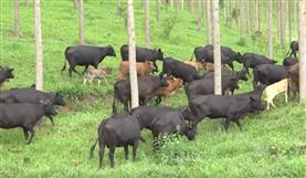 Nutrição para gado de corte (Fazenda Triqueda)